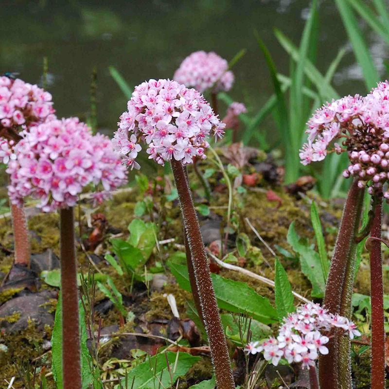 Plante ombrelle au printemps