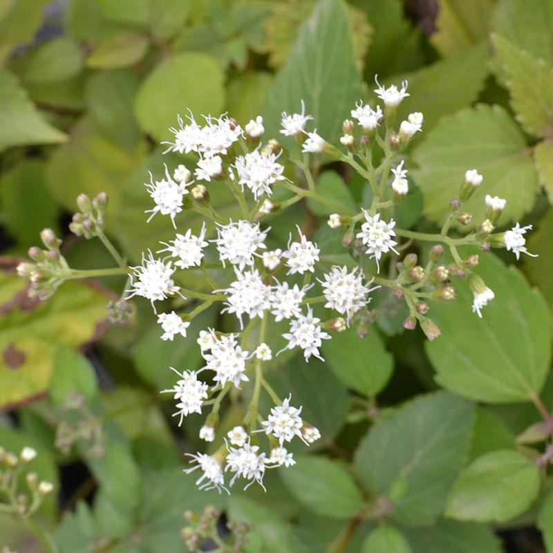 Eupatoire, fleur en septembre