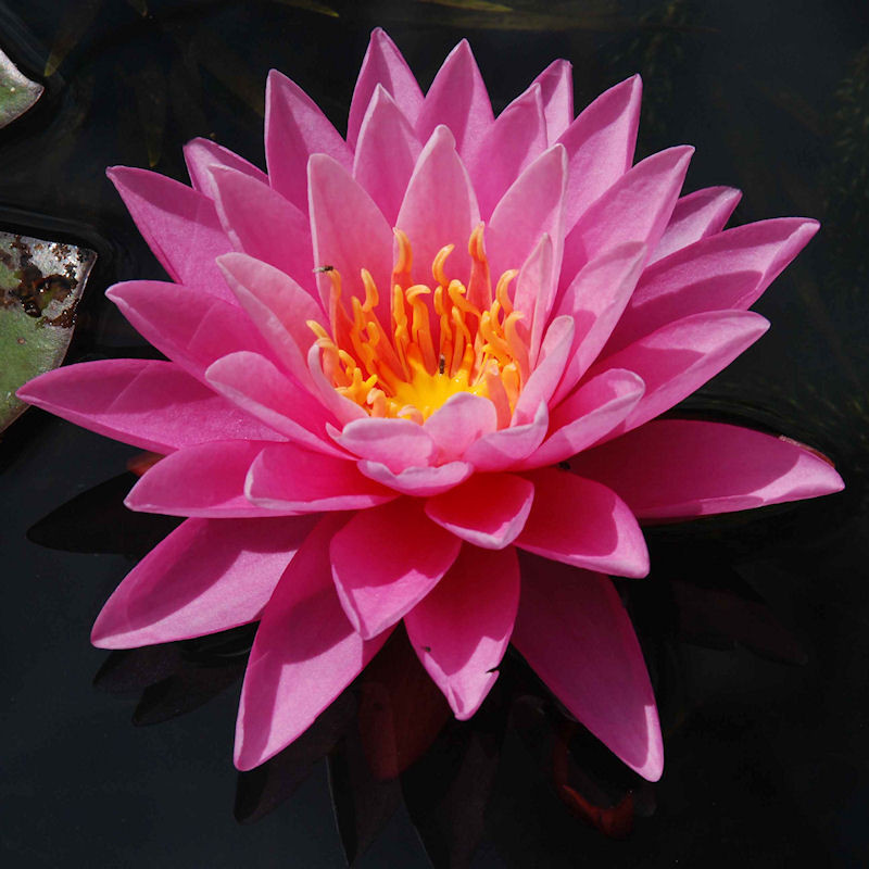 Nénuphar 'Pink Sunrice'