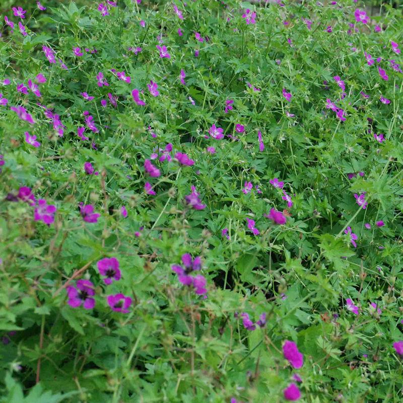 Geranium des marais en été