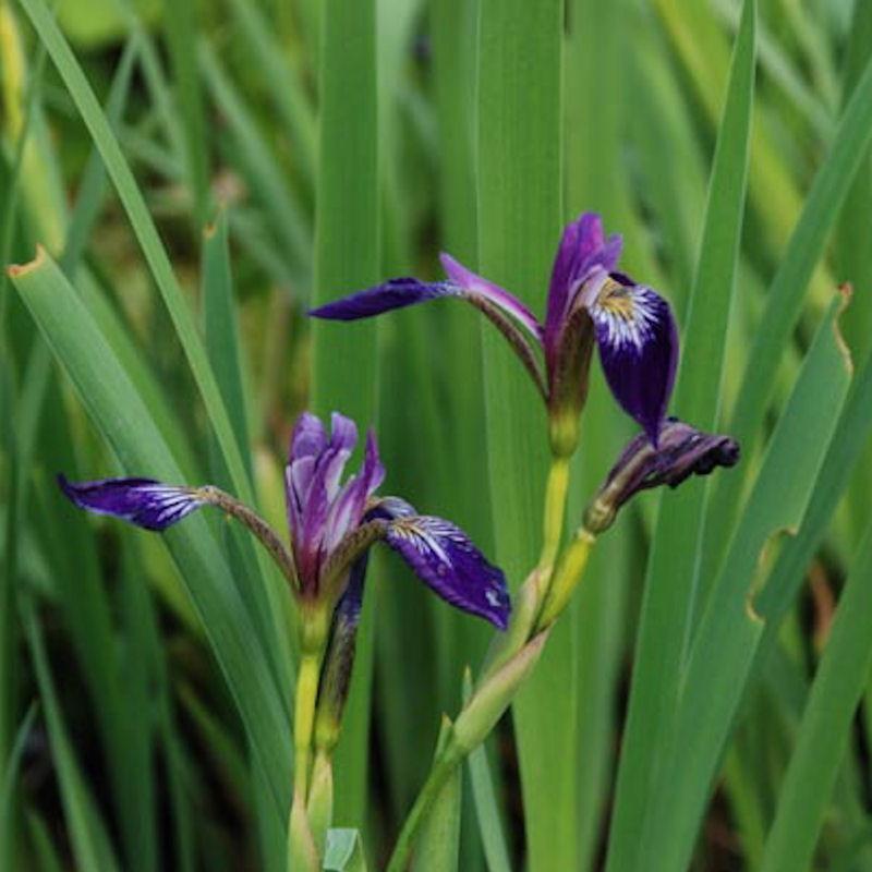 Iris d'amérique 'Kermesina' au printemps