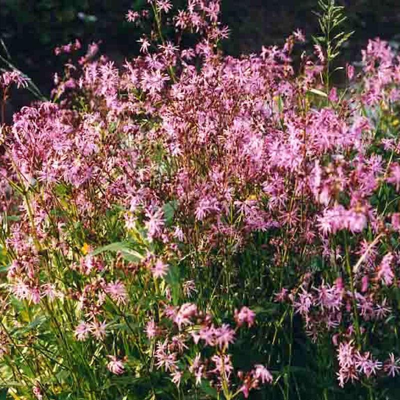 Fleur de coucou en été