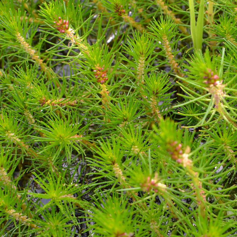 Myriophylle propium en été