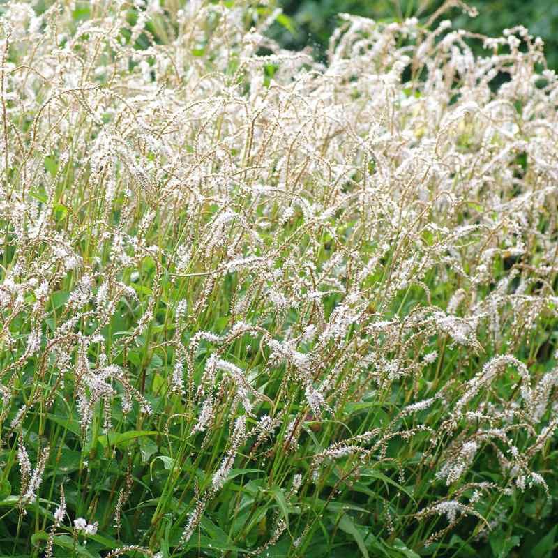 Persicaria amplexicaulis 'White Easfield'