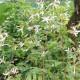Gillénie à trois feuilles