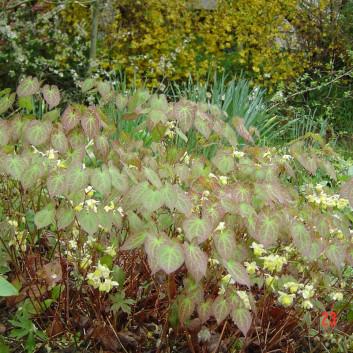 Epimedium 'Sulphureum'