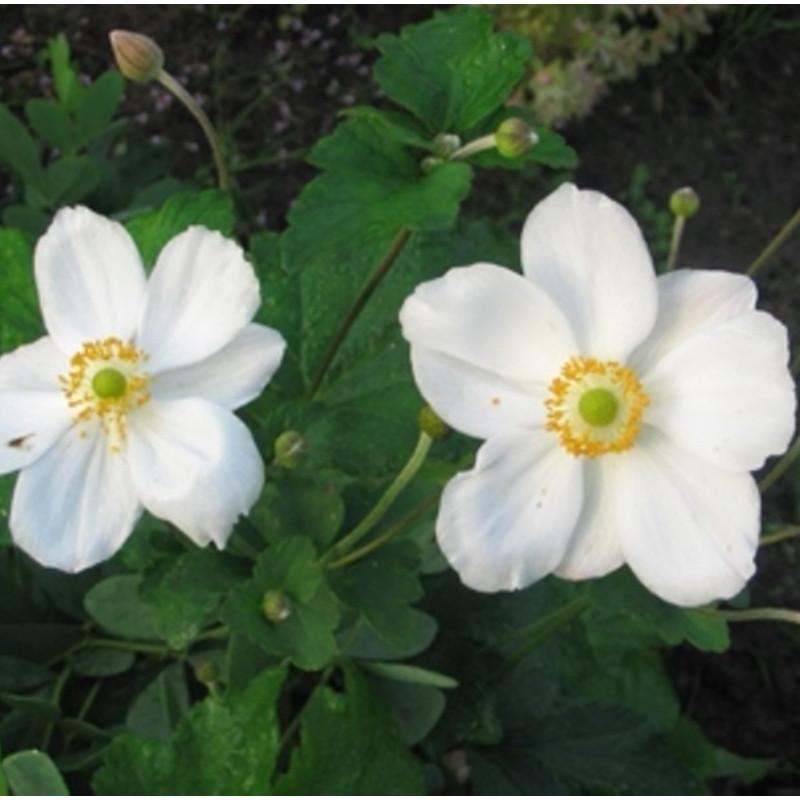 Anemone x.hybrida 'Honorine Jobert'