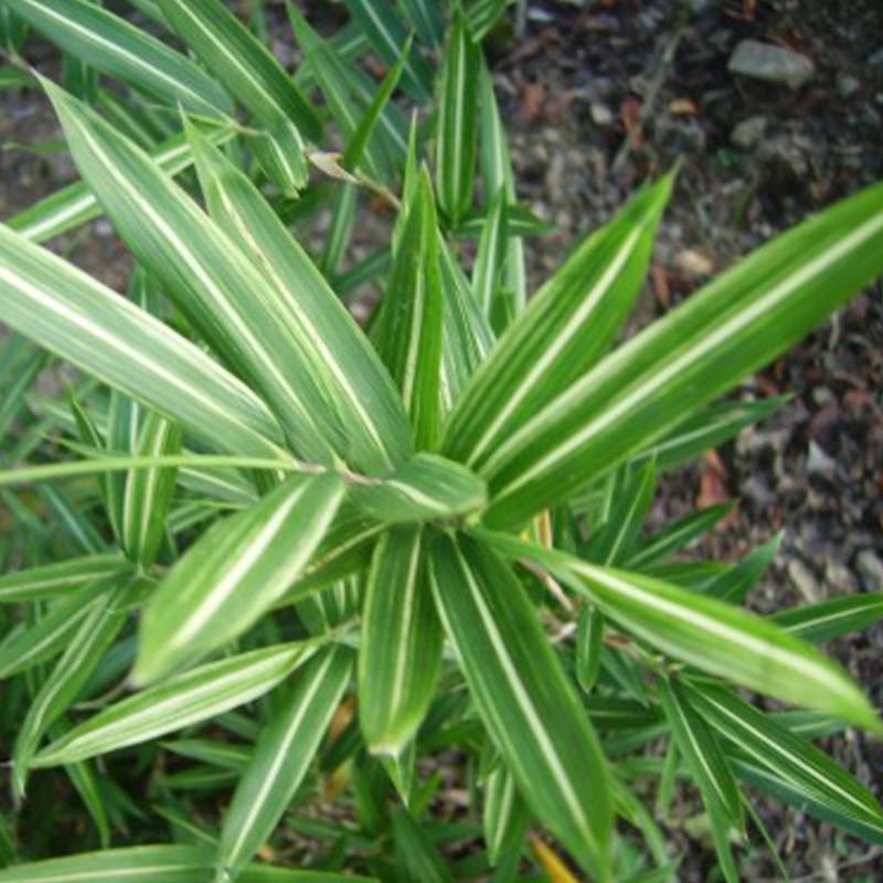Pleioblastus shibuyanus 'Tsuboï'