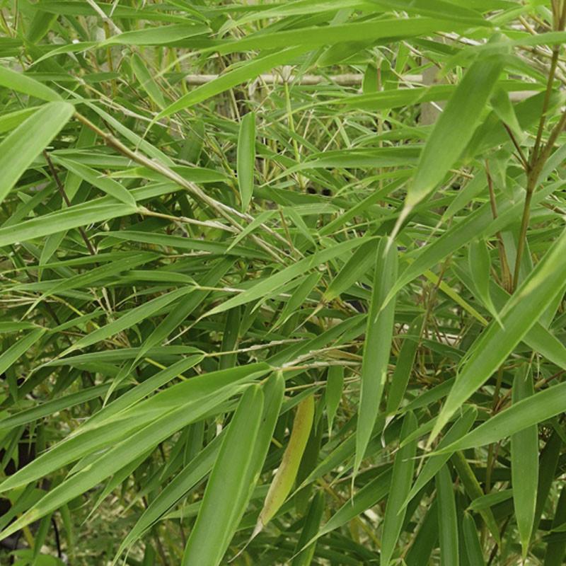 Fargesia robusta 'Pingwu' - Créa'Paysage