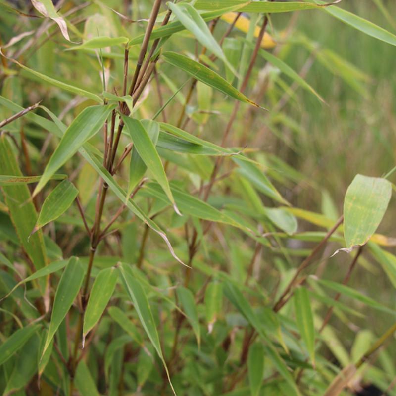 Fargesia robusta Wolong- CréaPaysage 1