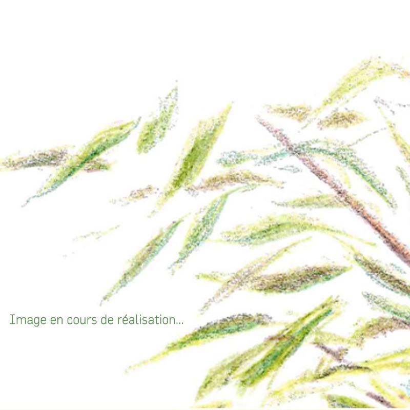 Pleioblastus chino f. 'Elegantissimus'