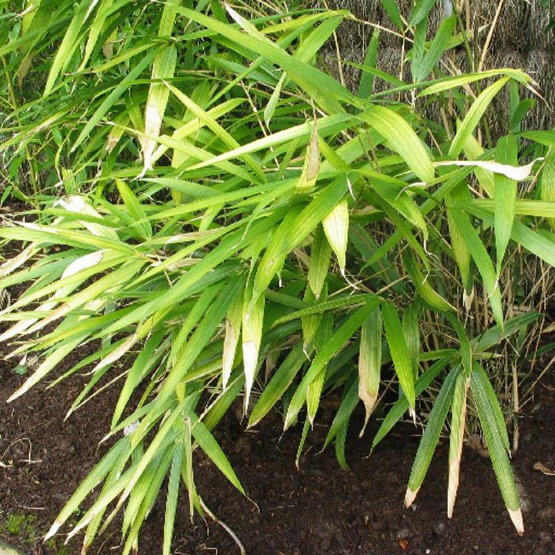 Pseudosasa japonica 'Akebonosuji'