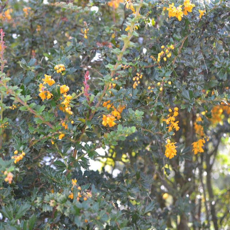 Epine-vinette de Darwin, fleurs