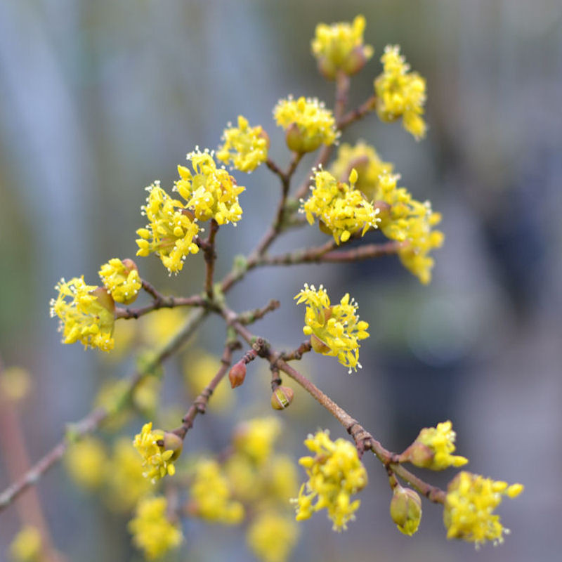 Cornouiller mâle, fleurs
