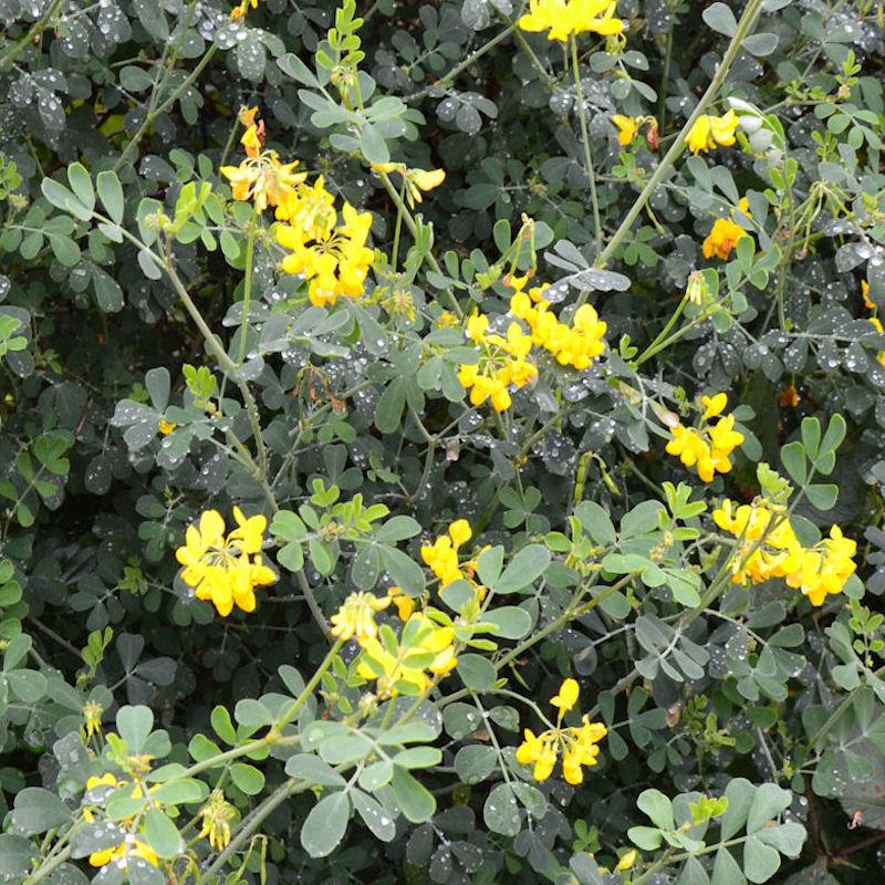 Coronille des jardins, fleurs