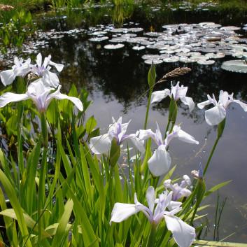 Iris japonais blanc