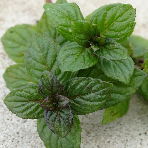 Menthe Reglisse Bio A Planter En Godets De 9 Cm
