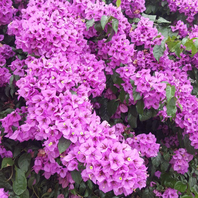 Bougainvillier 'Violet de Mèze' fleurs et bractées