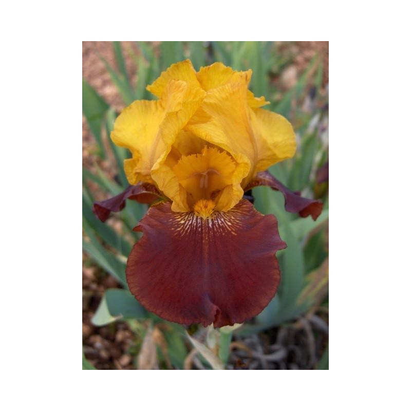 Iris 'Corbière'