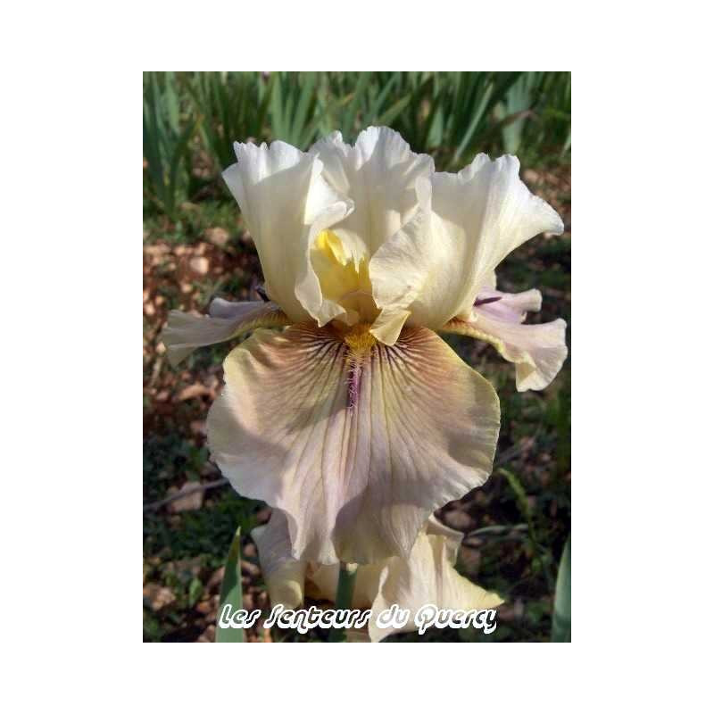 Iris 'Thornbird'