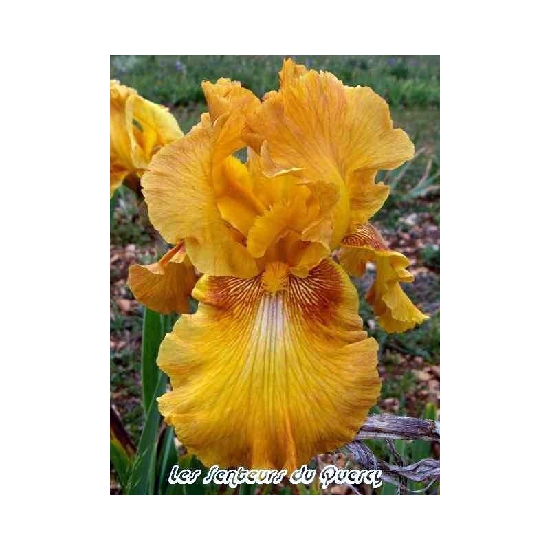 Iris 'Rustic Cédar'