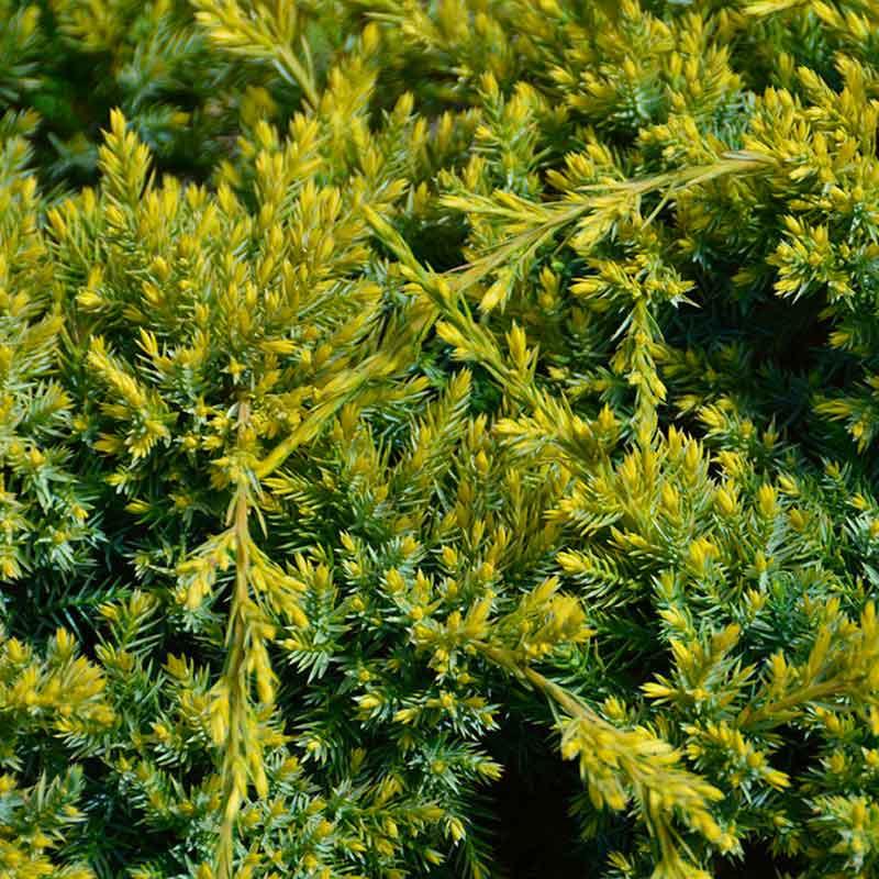 Juniperus squamata \'Dream Joy\' à l\'automne