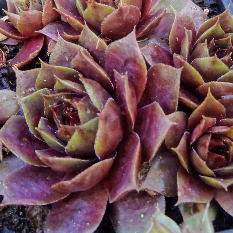 Sempervivum Violaceum Avril