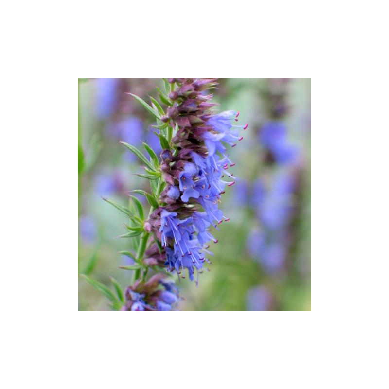 Hyssopus officinalis - Hysope à fleur bleue