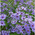 Aster 'Little Carlow'