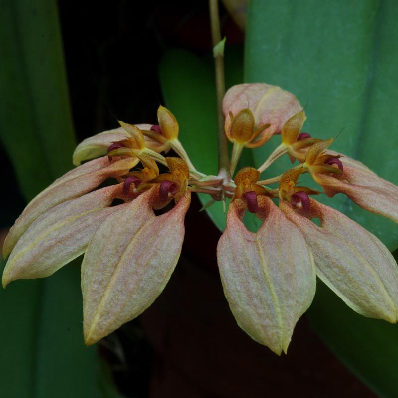 Bulbophyllum weberii