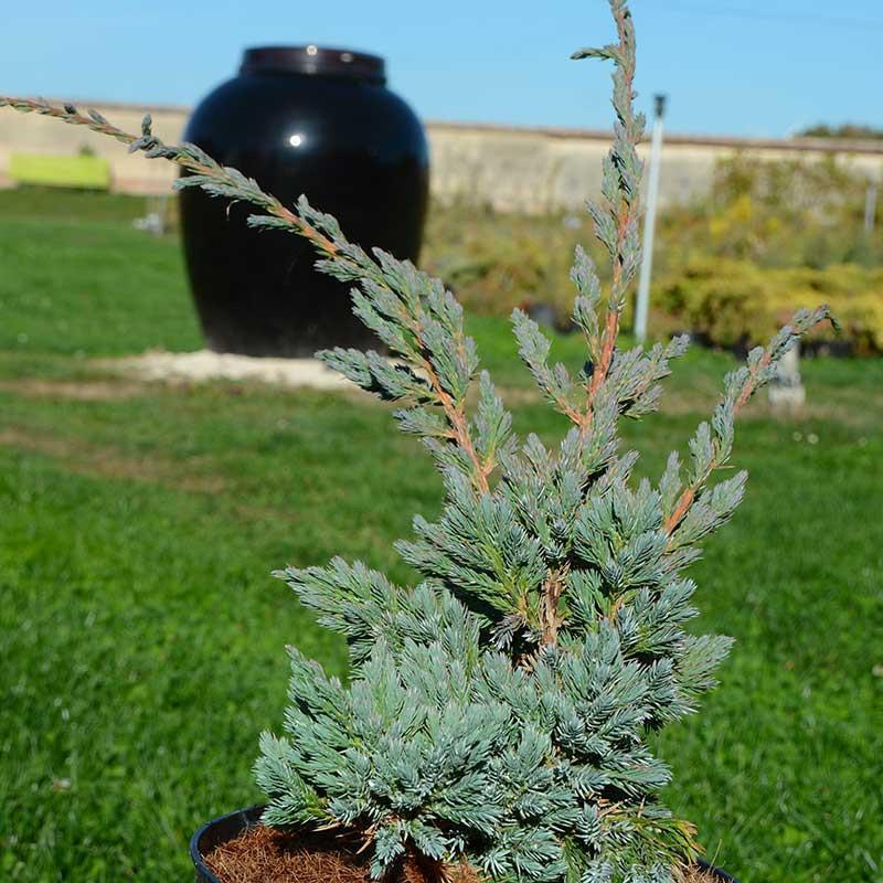 Juniperus squamata Meyeri