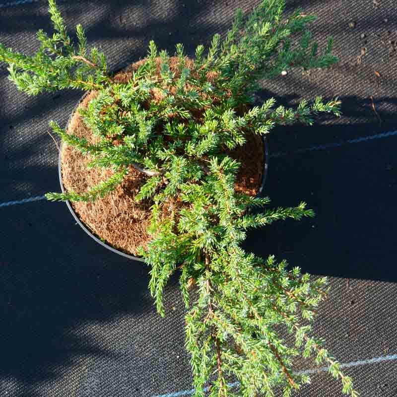juniperus communis 'Corielagan'