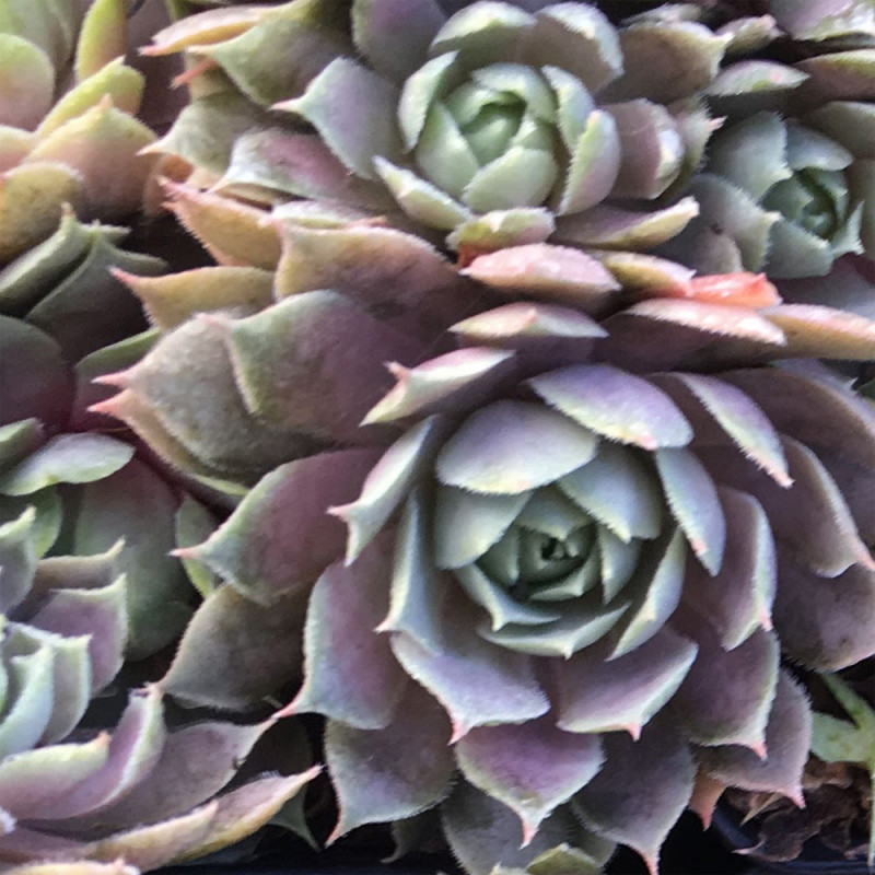 Sempervivum Pacific Blue Ice Automne (Septembre)