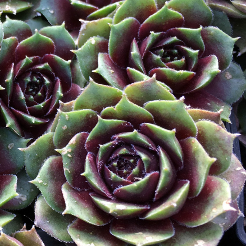 Sempervivum 'Grunschnabel- printemps (Mars)