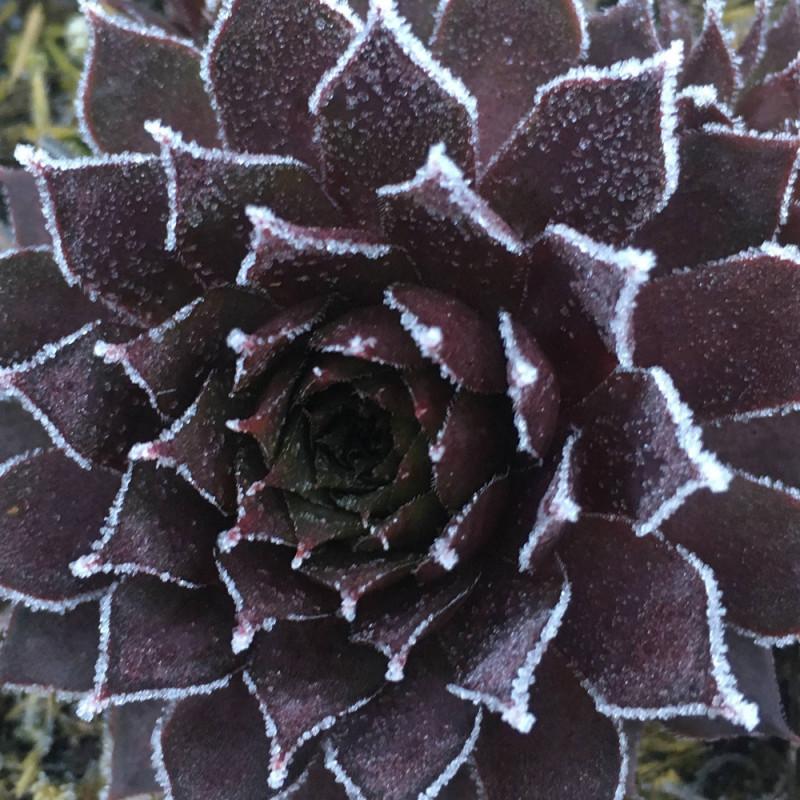 Sempervivum 'Royal Ruby' bordé de givre en hiver (Janvier)