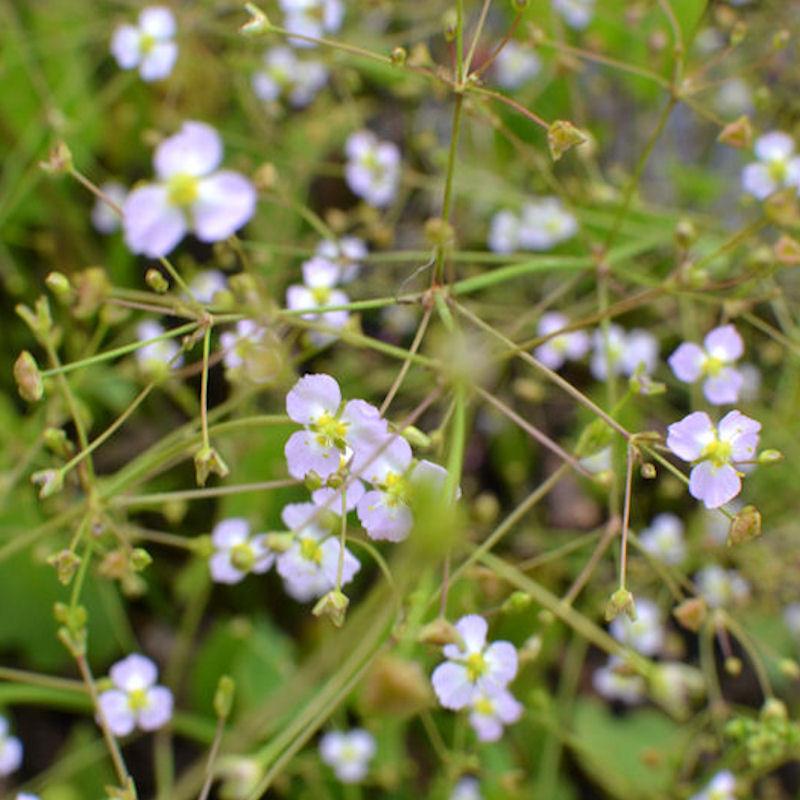 Plantain d'eau, détail de la fleur en été