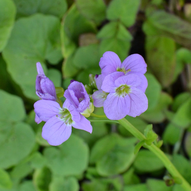 Cardamine radis, fleur en Juin